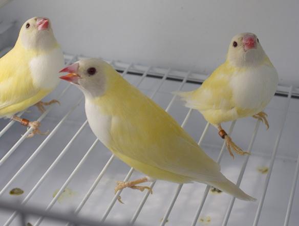 Lutino Testa nera (3 femmine)