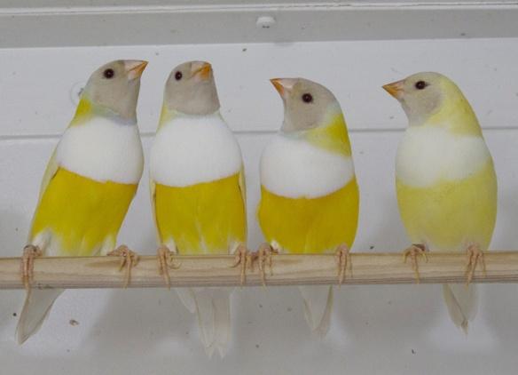 Lutino Testa nera (3 maschi e 1 femmina)