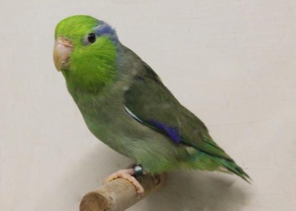 Forpus Coelestis (Maschio)