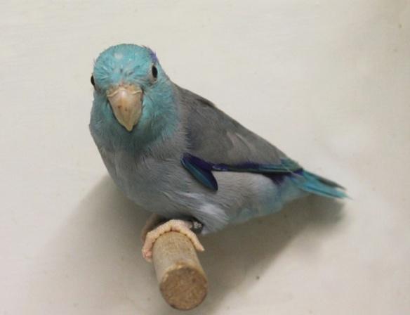Forpus Coelestis Blu (Maschio)
