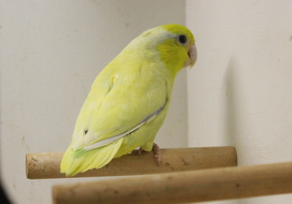 Forpus coelestis giallo americano (maschio)