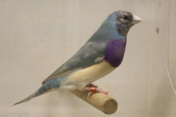 Blu Pastello Singolo fattore Testa nera - Petto viola (maschio)