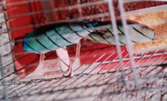 Blu anomalo (maschio)
