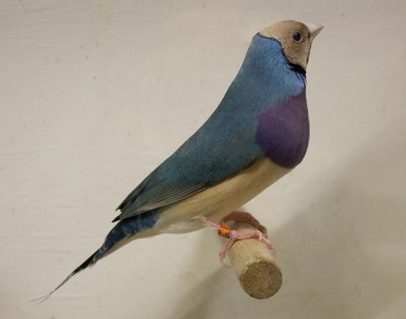 Blu Testa crema - Petto viola (maschio)