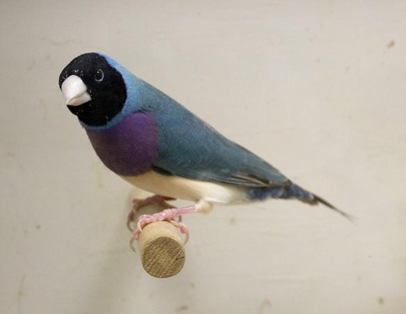 Blu Testa nera - Petto viola (maschio)