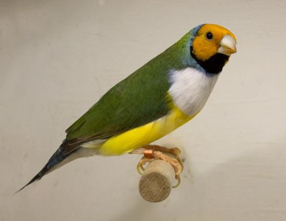 Testa arancio - Petto bianco (maschio)