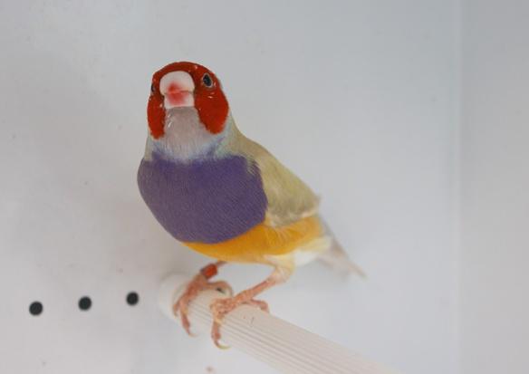 Pastello Testa rossa (maschio)