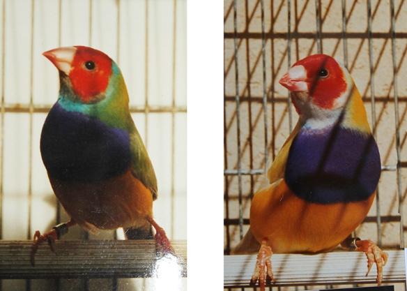Pastello Testa Rossa - Petto Viola - Singolo Fattore e doppio Fattore a confronto