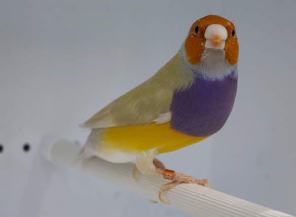 Pastello Testa arancio - Petto viola (maschio)