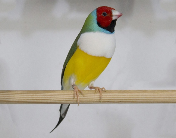 Testa rossa - Petto bianco (maschio)